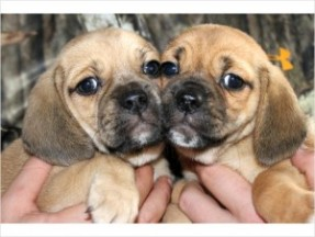 baby puggles